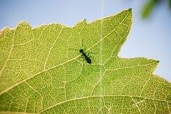 Hormiga en una hoja verde imagen de archivo libre de regalías