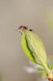 Hormiga en una hoja verde Imagen de archivo