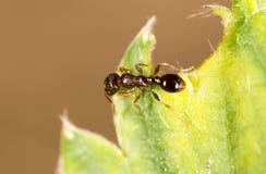 Hormiga en una hoja verde Macro Imagen de archivo libre de regalías