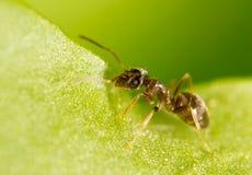 Hormiga en una hoja verde Macro Imágenes de archivo libres de regalías