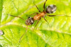 Hormiga en una hoja verde Macro Imagen de archivo