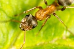 Hormiga en una hoja verde Macro Fotografía de archivo libre de regalías
