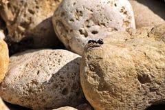 Hormiga en una roca Fotografía de archivo