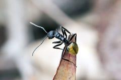 Hormiga, espinoso atada de oro, ammon de Polyrhachis, longitud corporal 7-11m m Foto de archivo