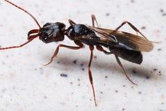 Hormiga gigante fotografía de archivo libre de regalías