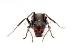 Hormiga grande del bosque Foto de archivo