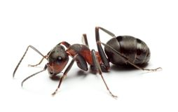 Hormiga grande del bosque Fotografía de archivo