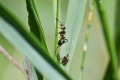 hormiga grande del bosque en la hoja Foto de archivo libre de regalías