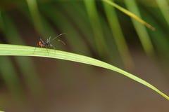 Hormiga grande en una hoja Imagen de archivo libre de regalías