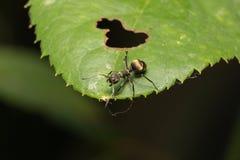 Hormiga macra en una hoja Imágenes de archivo libres de regalías
