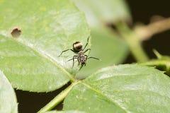 Hormiga macra en una hoja Imagen de archivo