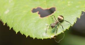 Hormiga macra en una hoja Fotos de archivo