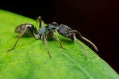 Hormiga negra Imágenes de archivo libres de regalías
