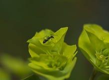 Hormiga negra Fotos de archivo