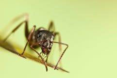 Hormiga negra en hierba verde Imagen de archivo