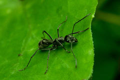 Hormiga negra en la hoja verde Imagenes de archivo