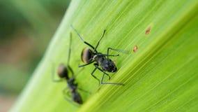 Hormiga negra en la hoja verde almacen de video