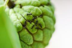 Hormiga negra en la manzana del azúcar o la anona en el árbol en el fondo del verde de la naturaleza de la fruta tropical del jar fotos de archivo