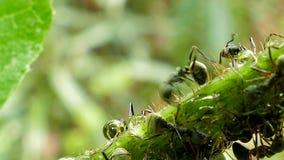 Hormiga negra en rama almacen de metraje de vídeo