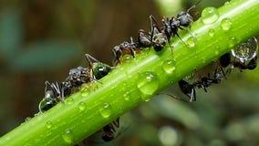 Hormiga negra en rama almacen de video
