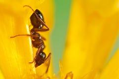 Hormiga negra en una flor amarilla Fotos de archivo