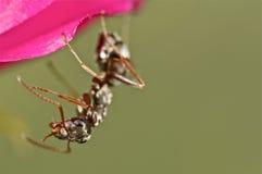 Hormiga negra en una flor rosada Fotos de archivo libres de regalías