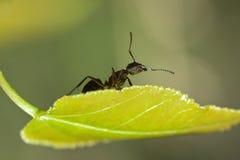 Hormiga negra en una hoja Fotografía de archivo