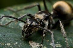 Hormiga negra espinosa Foto de archivo libre de regalías