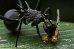 Hormiga negra espinosa Imagen de archivo libre de regalías