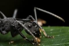 Hormiga negra espinosa Foto de archivo