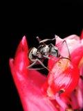 Hormiga negra grande en la flor roja Fotografía de archivo libre de regalías