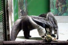 Hormiga-osos Imagenes de archivo