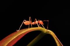 Hormiga que camina en las ramitas foto de archivo