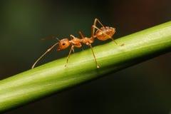 Hormiga que camina en las ramitas foto de archivo libre de regalías