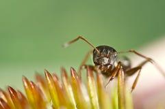 Hormiga que mira a escondidas hacia fuera de una flor rosada Fotos de archivo