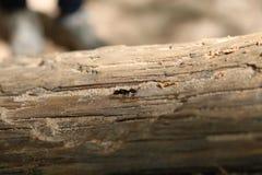 Hormiga que se arrastra en una rama de árbol fotos de archivo libres de regalías