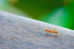 Hormiga que se coloca en piso de madera Imagen de archivo libre de regalías