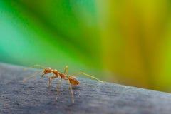 Hormiga que se coloca en piso de madera Fotos de archivo