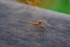 Hormiga que se coloca en piso de madera Imagenes de archivo
