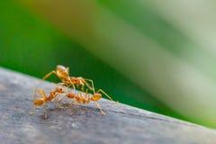 Hormiga que se coloca en piso de madera Imágenes de archivo libres de regalías