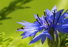 Hormiga que se sienta en un aciano de la flor Imágenes de archivo libres de regalías