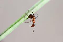 Hormiga que se sienta en una lámina fotografía de archivo