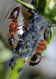 Hormiga que tiende áfidos Imagen de archivo libre de regalías