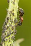 Hormiga que tiende áfidos Imágenes de archivo libres de regalías