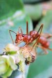 Hormiga roja Imágenes de archivo libres de regalías