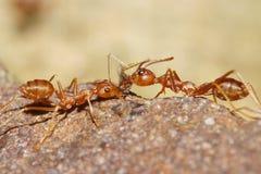 Hormiga roja Fotos de archivo libres de regalías