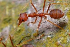 Hormiga roja fotos de archivo