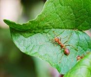 Hormiga roja imagen de archivo