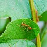 Hormiga roja Foto de archivo libre de regalías