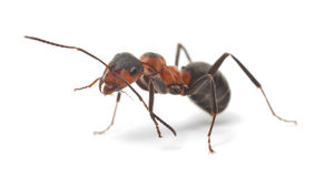 Hormiga roja aislada Fotos de archivo libres de regalías